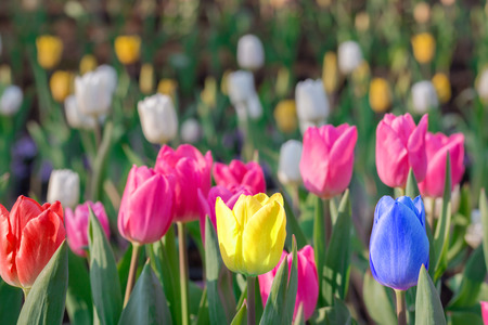 differs: Striking multicolor flowering tulip differs from the many pink blooming tulips in different color concept.