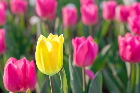 differs: Striking yellow flowering tulip differs from the many pink blooming tulips in different color concept.