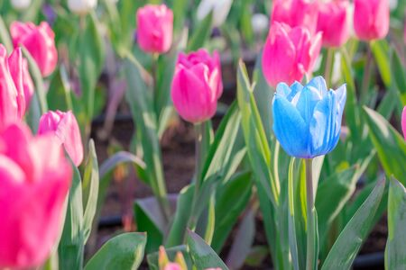 differs: Striking blue flowering tulip differs from the many pink blooming tulips in different color concept.