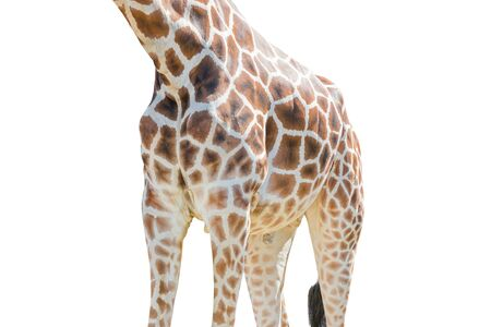 Body half of Giraffe isolated on white background. Object with clipping path.
