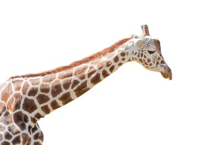 Giraffe isolated on white background. Object with clipping path.