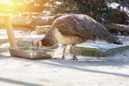 common peafowl: common peafowl male eating food in metal box. Stock Photo