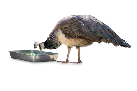 common peafowl: common peafowl male eating food isolated on white background. Object with clipping path. Stock Photo