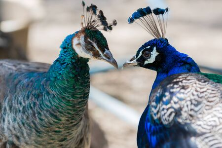 common peafowl: Close up portrait of two blue peacock in love. Stock Photo