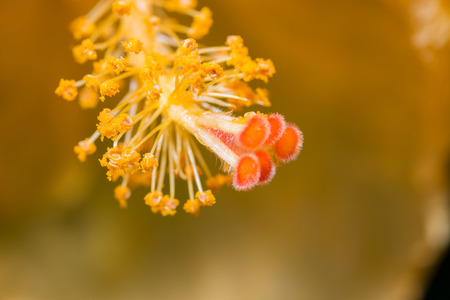 anthers: Macro of a red and yellow Hibiscus flower showing details of the huge protruding style topped by five hairy red stigmas and a mass of pollen covered anthers with a large depth of focus.