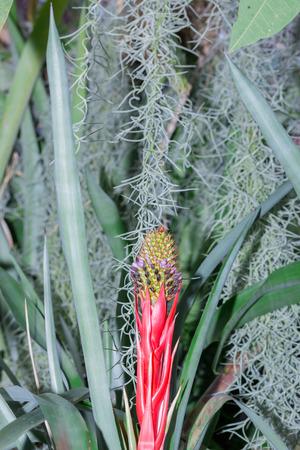 vriesea: Bromeliad or Urn Plant (Aechmea weilbachii) kind of local Brazil Plants.