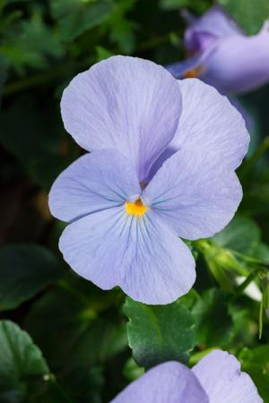 Viola blue Pansy Flower in flower garden Stock Photo