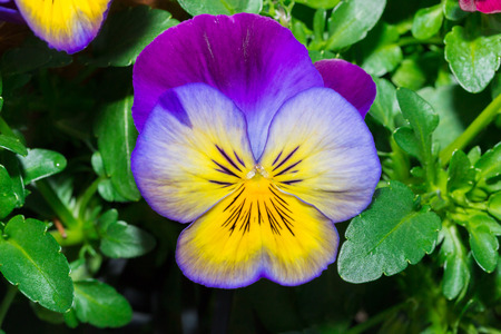 Viola purple and yellow Pansy Flower in flower garden