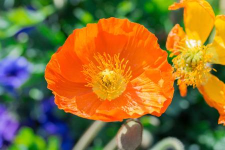 Close up of a orange iceland poppy flowerscientific name papaver close up of a orange iceland poppy flowerscientific name papaver nudicaule stock photo mightylinksfo
