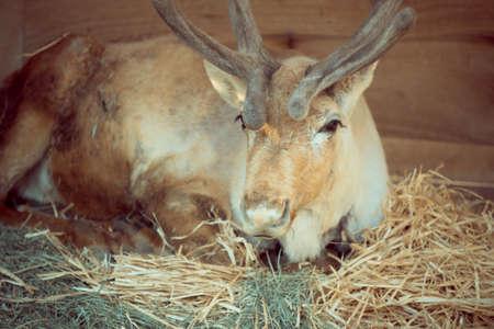 missouri wildlife: Close up deer sitting on dry grass. look so sad.
