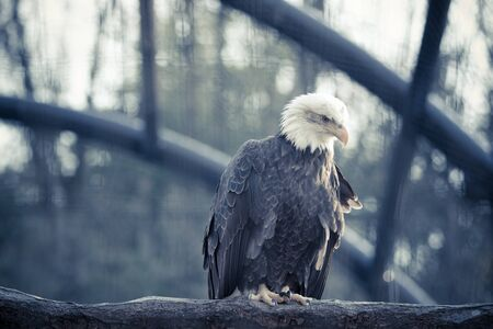 feral: Bald feral eagle perched on a dry branch in forest. vintage tone.