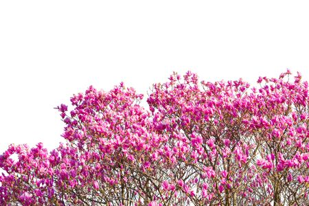 haze: Beautiful pink flower with white background. (Scientific name Pink Haze)