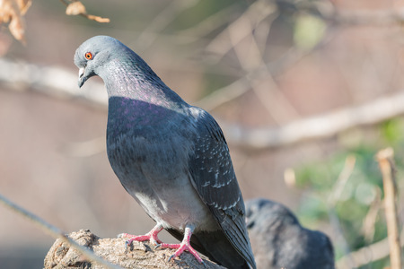 perching: Feral pigeon (Columba livia domestica) perching on a branch in front of a blur background.