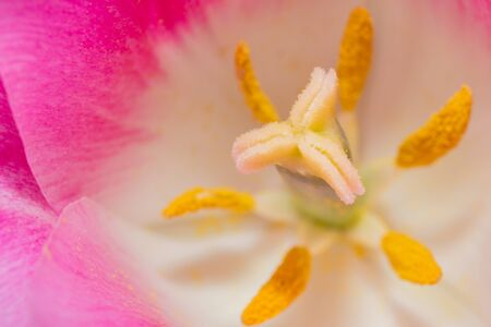 anthers: Close-up Tulip macro of anthers with pollen grains of pink Tulip flower.