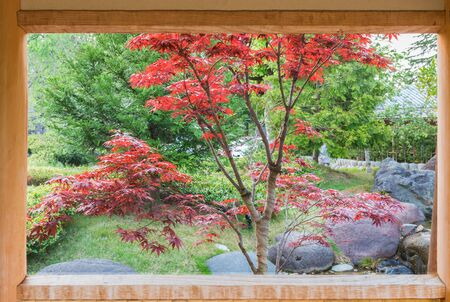 Autumn maple tree in japan garden outdoor Looking through the wooden frame and wooden window.