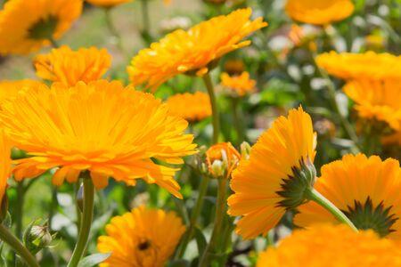 garden marigold: Beautiful flowers calendula, marigold in flower garden. Stock Photo