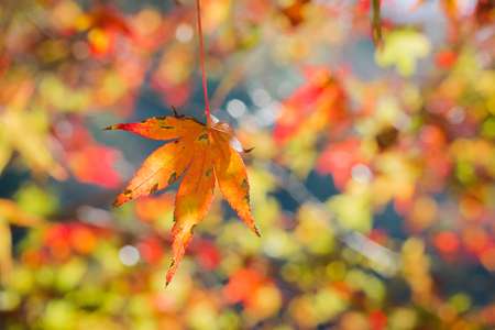 Red maple leaf in forest in fall season, Beautiful autumn background.