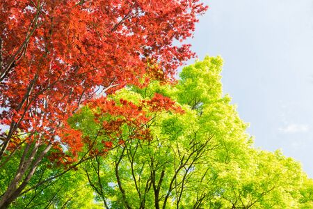 Red and green maple tree in forest in fall season, Beautiful autumn background.
