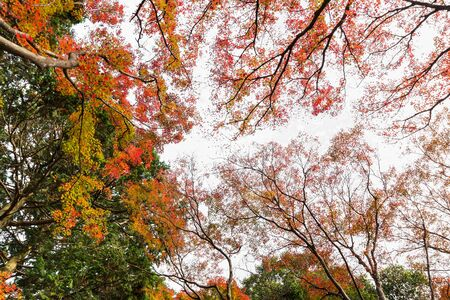 Red maple tree in forest in fall season, Beautiful autumn background. Stock Photo