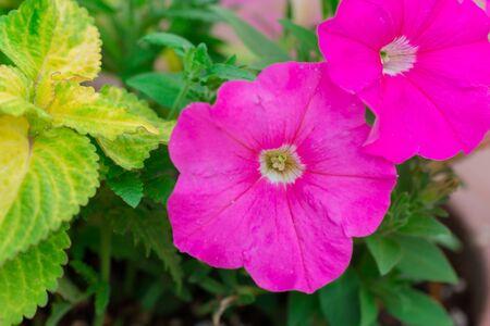 petunia wild: Beautiful fuchsia pink geranium in flower garden.