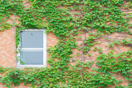creeping plant: Old white window of abandoned house with creeping plant green leaves on the wall. Stock Photo