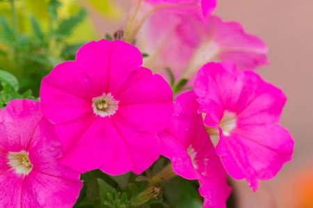 Beautiful fuchsia pink geranium in flower garden.