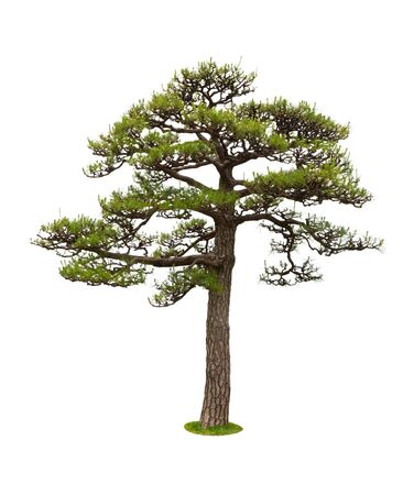 pinaceae: Pine tree for decor isolated on white background.