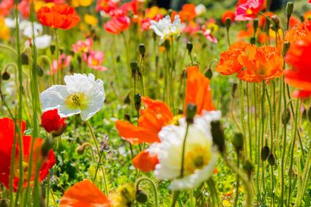 Beautiful flower garden of a iceland poppy flowerscientific stock beautiful flower garden of a iceland poppy flowerscientific name papaver nudicaule stock mightylinksfo