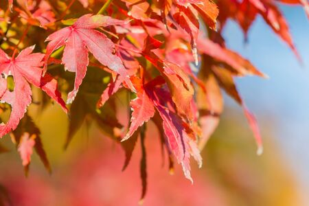 momiji: Red maple leaf in forest in fall season, Beautiful autumn background.