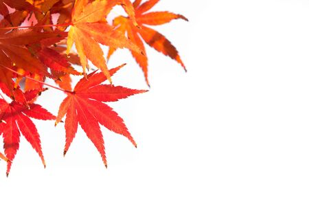 momiji: Colorful autumn red maple leaf on white background with copy space.