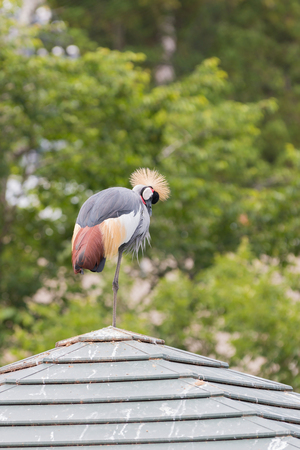 Grey Crowned-crane standing by one leg on the roof. Stock Photo