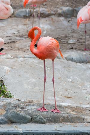 Caribbean Flamingos or Caribbean flamingos ( Phoenicopterus ruber ruber)