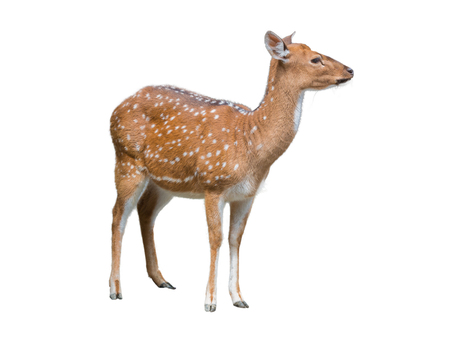 blotched: Cute spotted fallow deer isolated on white background.