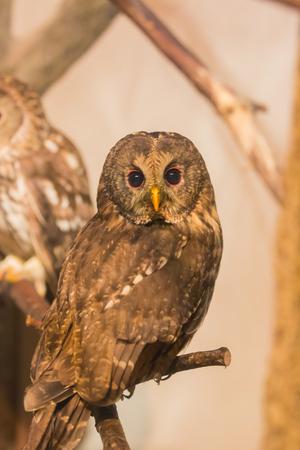 ural owl: Ural Owl (Strix uralensis) on dry branch
