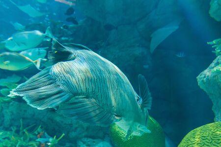 cheilinus: Humphead Maori Wrasse swimming near the Reef underwater in aquarium.