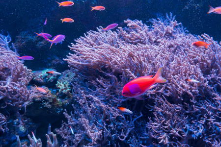 red coral colony: Beautiful coral in underwater with colorful fish and colorful coral.