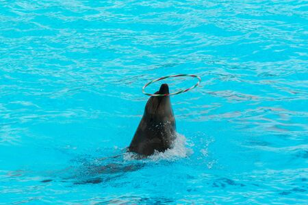 bottlenose: Dolphin show spinning hoop in the pool