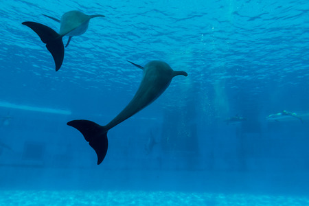 Two dolphin show tail in aquarium underwater Stock Photo