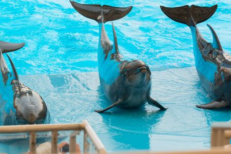 bottlenose: A group show of bottlenose dolphins ready to performing.
