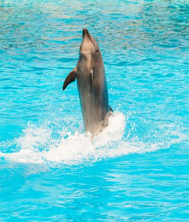 bottlenose: A group show of bottlenose dolphins performing a tail stand