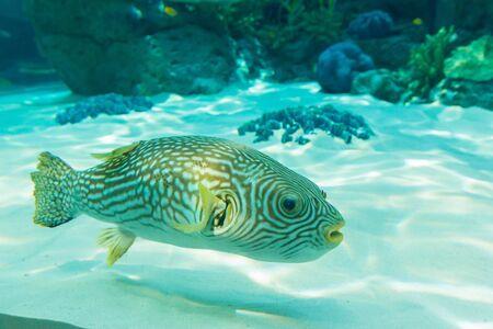 White-Spotted puffer, Arothron Hispidus, aquarium fish in underwater.