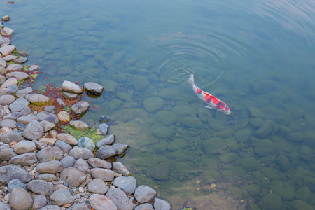 Beautiful koi fish swimming in the pond, motion blur.
