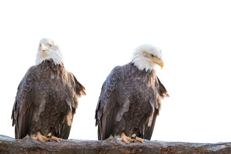 Two bald feral eagle perched on a dry branch isolated on white background.