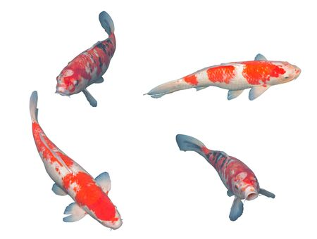 Japanese koi fish isolated on white background.