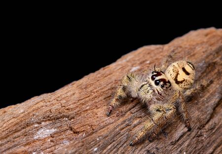 Female Phidippus mystaceus jumping spider on timber in nature. Archivio Fotografico