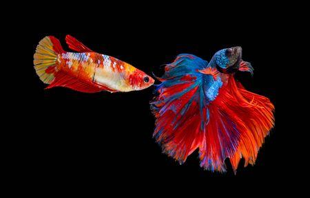 Beautiful female and male betta splendens half moon siamese betta fish. fighting fish in movement on black background.