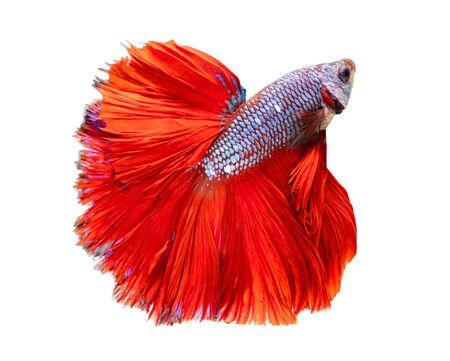 Beautiful betta splendens half moon siamese betta fish. fighting fish in movement on white background.