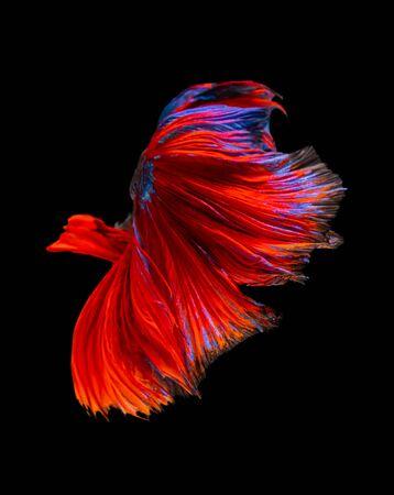 Beautiful betta splendens half moon siamese betta fish. fighting fish in movement on black background.