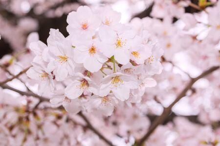 Beautiful pink cherry blossom in full bloom. Pink japanese sakura. Stockfoto