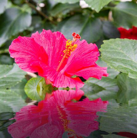 Hibiscus pink flower in flower garden with reflection on water Zdjęcie Seryjne